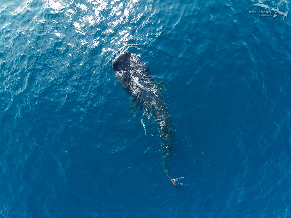 Aerial image of a whale shark (Rhincodon typus) at the largest known aggregation near Isla Mujeres, Mexico. They gather every summer to feed on tunny (bonito) eggs.