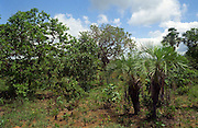 Savanna (called  cerrado in Brazil) biome, Goias State, Brazil. Palm is Butia sp..