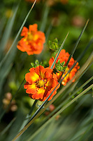 Potentilla 'William Rollison' (Cinquefoil) flowers growing amongst the reeds