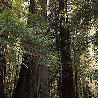 A stand of redwood trees at Jebediah Smith Redwoods State Park in Northern California, USA.