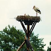 Ooievaars in de Wijk op het nest