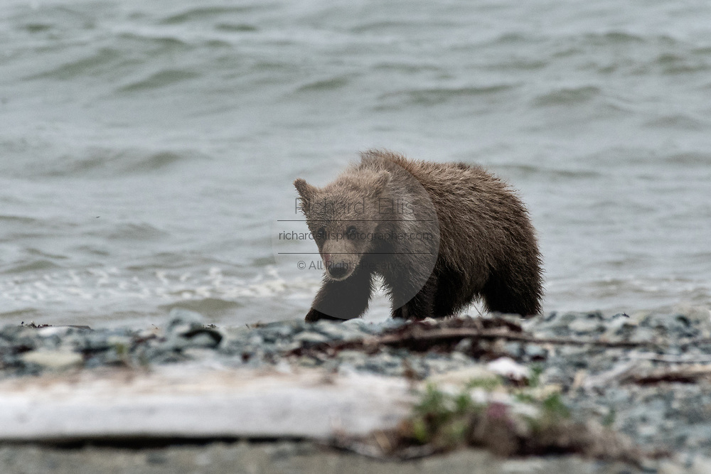 A Brown bear cub walks along the beach at the McNeil River State Game Sanctuary on the Kenai Peninsula, Alaska. The remote site is accessed only with a special permit and is the world's largest seasonal population of brown bears in their natural environment.