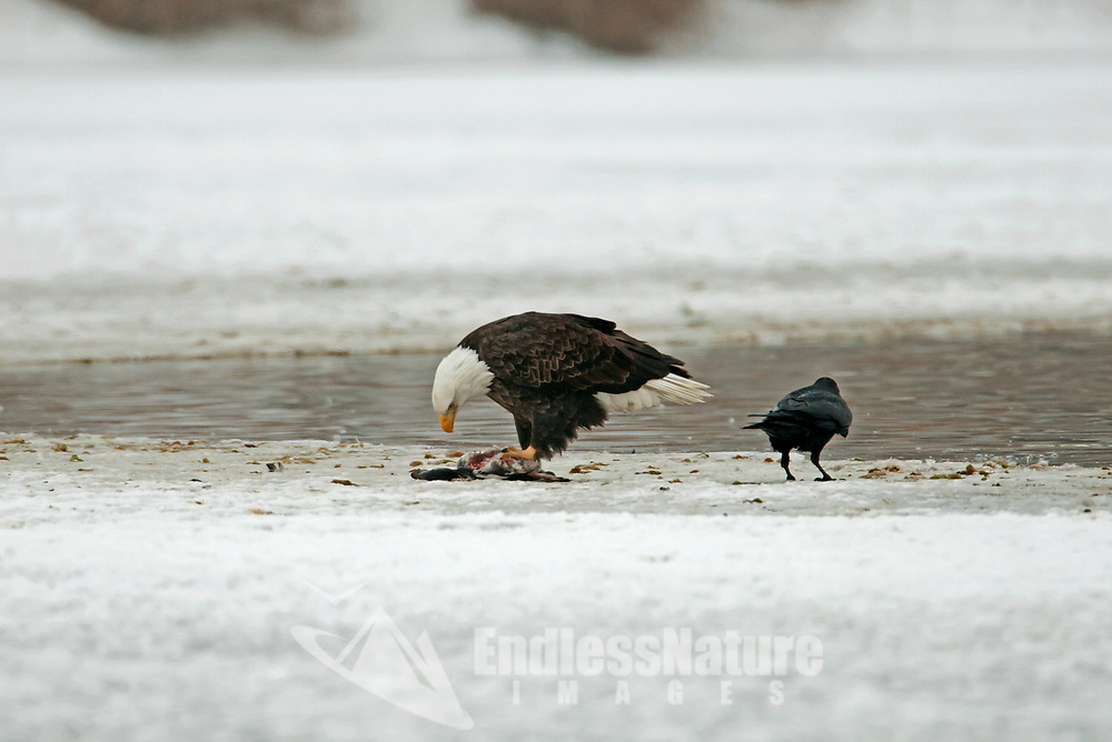On the side of the only open water on a winter pond a Bald Eagle feeds on a duck it caught injured birds that cannot get around well end up as food.