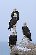 Bald Eagle, Haliaeetus leucocephalus, four mature eagles on stump, Kenai Peninsula, Homer Spit, Homer, Alaska. Digital orginal, #2006_0416 ©Robin Brandt
