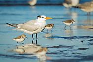 A royal tern stands among a flock of shorebirds, Puerto Vallarta, Mexico