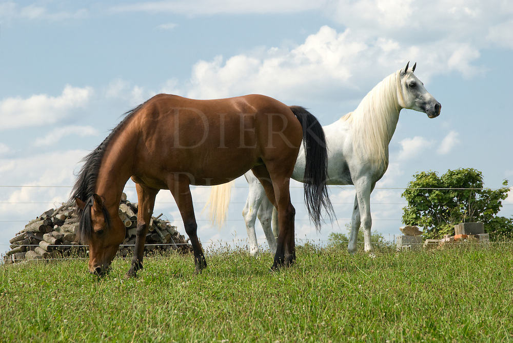 An alert Arabian stallion watching while mare his grazes, a mating pair in a beautiful summer pasture.
