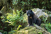 An adult American black bear sits on a rocky outcropping in the temperate rain forest at Anan Creek in the Tongass National Forest, Alaska. Anan Creek is one of the most prolific salmon runs in Alaska and dozens of black and brown bears gather yearly to feast on the spawning salmon.