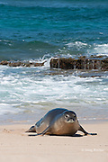 Hawaiian monk seal, Monachus schauinslandi, Critically Endangered endemic species, coming ashore on beach at west end of Molokai, Hawaii ( Central Pacific Ocean )
