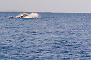 Humpback Whale Breaching 8 of 9, Maui Hawaii