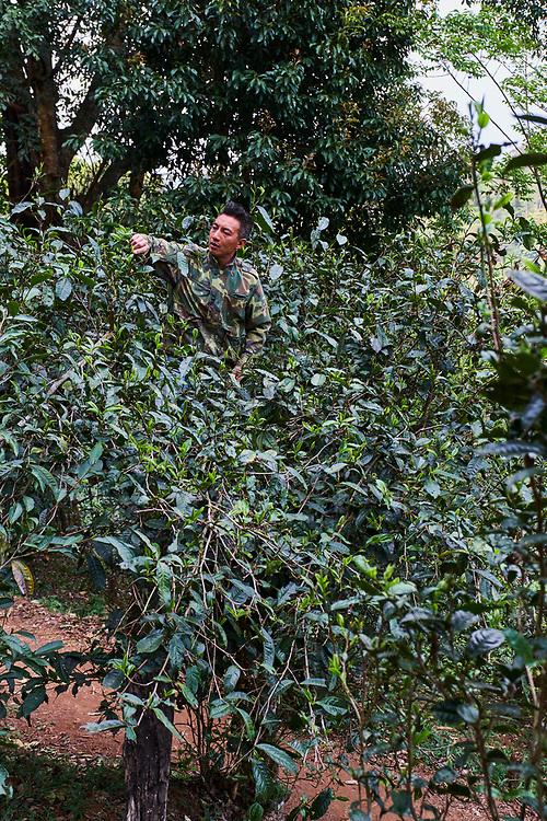 Chine, Province du Yunnan, region de Xishuangbanna, arbre à thé, ceuillette du thé // China, Yunnan, Xishuangbanna district, tea tree, Tea Picker picking tea leaves