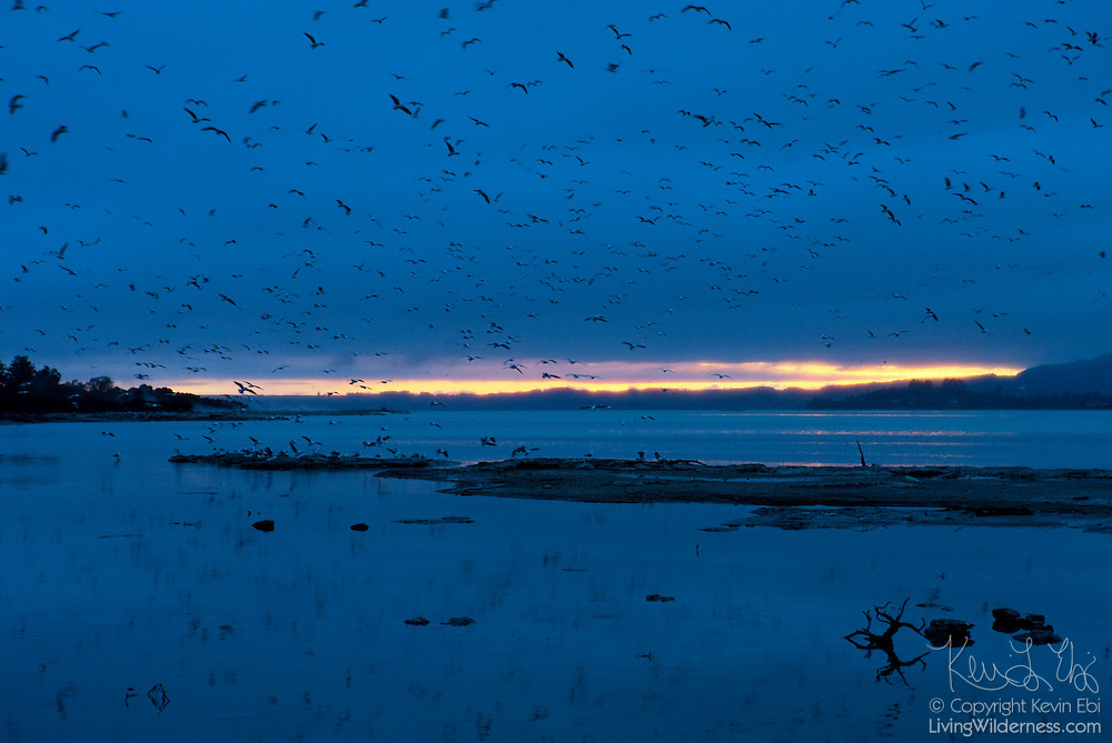 Thousands of red-billed gulls, known also as mackerel gulls, fly over Lake Rotorua in New Zealand just before sunrise. The gull is native to New Zealand. The native M?ori name of this species is Tarapunga.
