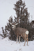 Mule deer buck (Odocoileus hemionus) in Yellowstone National Park