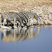 Herd of Burchell´s zebras drinking water in Etosha wildpark, Okaukuejo waterhole. Namibia