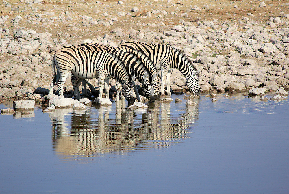 Herd of Burchell´s zebras drinking water in Etosha wildpark, Okaukuejo waterhole. Namibia