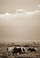 Elephants grazing in front of Mount Kilimanjaro,     Amboseli National Park,   Kenya