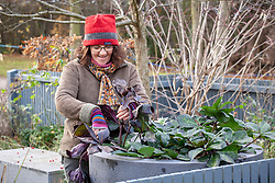 Taking tatty old leaves off hellebores in winter