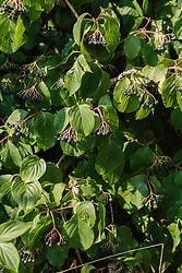 rode kornoelje, Cornus sanguinea