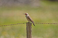 A male Northern Flicker sits on a fence post watching a female Flicker in the next tree.