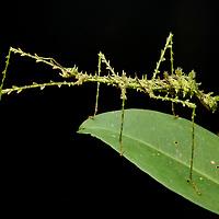 Mossy Stick Insect (Antongilia laciniata), female. Tomasina, Madagascar.