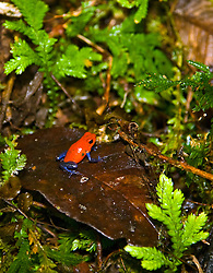 "La Fortuna, Alajuela: (From Wikipedia:) ""The strawberry poison frog or strawberry poison-dart frog (Oophaga pumilio or Dendrobates pumilio) is a species of small amphibian poison dart frog found in Central America. It is common throughout its range, which extends from eastern central Nicaragua through Costa Rica and northwestern Panama.""  Commonly called the blue jeans frog."