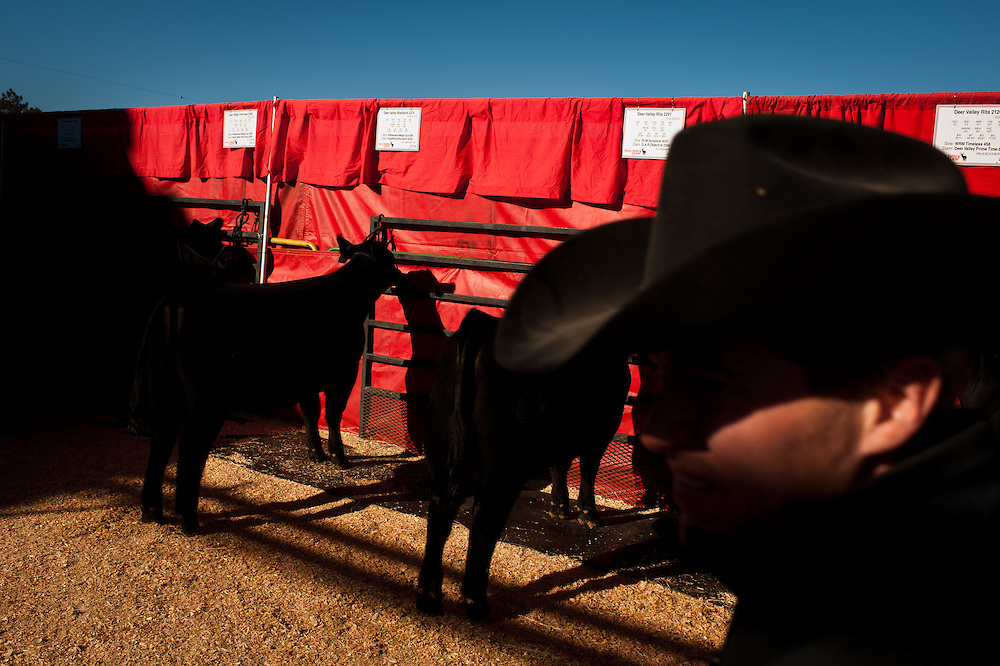 Cattle for sale in the stockyards during the National Western Stock Show.