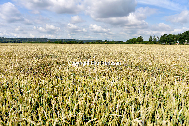 Nederland, Ubbergen, 8-7-2016Een veld met tarwe, graan . Tarweveld,graanveld.Foto: Flip Franssen