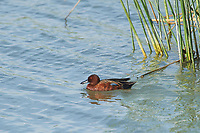 Cinnamon Teal (Anas cyanoptera) swimming in Lake Chapala,  Ajijic, Jalisco, Mexico