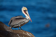 A brown pelican sporting it's mating colors.