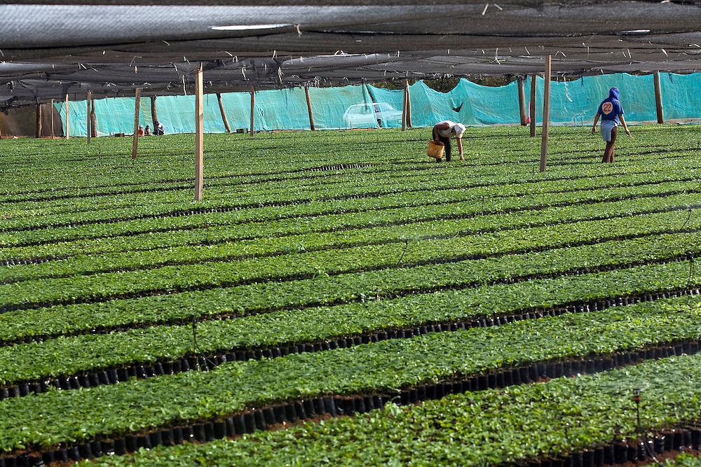 Patrocinio _ MG, Brasil .. Viveiro de mudas de cafe. .. Nursery seedlings of coffee...Foto: Leo Drumond / Agencia Nitro