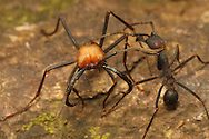 Army ant (Eciton sp.) soldier and worker. Rainforest in Rincon de la Vieja National Park, Costa Rica. <br />