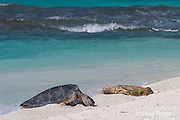 a green sea turtle, Chelonia mydas, basks near an emaciated juvenile Hawaiian monk seal, Monachus schauinslandi, French Frigate Shoals, Papahanaumokuakea Marine National Monument, Northwest Hawaiian Islands, USA ( Central Pacific Ocean )