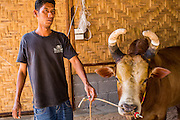 03 NOVEMBER 2012 - HAT YAI, SONGKHLA, THAILAND:   A Thai bull owner prepares his bull for a bullfight at the bullfighting arena in Hat Yai, Songkhla, Thailand. Bullfighting is a popular past time in southern Thailand. Hat Yai is the center of Thailand's bullfighting culture. In Thai bullfights, two bulls are placed in an arena and they fight, usually by head butting each other until one runs away or time is called. Huge amounts of mony are wagered on Thai bullfights - sometimes as much as 2,000,000 Thai Baht ($65,000 US).     PHOTO BY JACK KURTZ