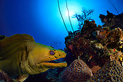 Yellow Moray (Gymnothorax prasinus) hiding in reef. Atlantic, Bonaire, Leeward Antilles, Caribbean region, Netherlands Antilles