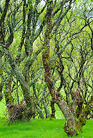 Birch forest on the Isle of Skye Scotland