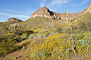 Poppy bloom in the Ajo Mountains of Organ Pipe Cactus National Monument in spring