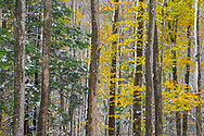 A fresh coat of mid-autumn snow illuminates the trees' structure and the remaining colorful fall foliage.
