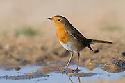 European Robin (Erithacus rubecula) near water, negev desert, israel