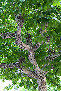 Speckled grey bark contrasts against lush green leaves of tree at sidewalk cafe