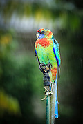"A Rosella Hybrid sits on a sprinkler as the rain pour down.  This parrot is a hybrid between a Crimson Rosella and a Australian Ringneck (""Twenty-eight"" parrot)."