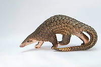 Sunda pangolin<br /> Manis javanica<br /> Rescued from poachers and in rehabilitation<br /> Carnivore and Pangolin Conservation Program, Cuc Phuong National Park, Vietnam<br /> *Digitally cleaned<br /> *Captive