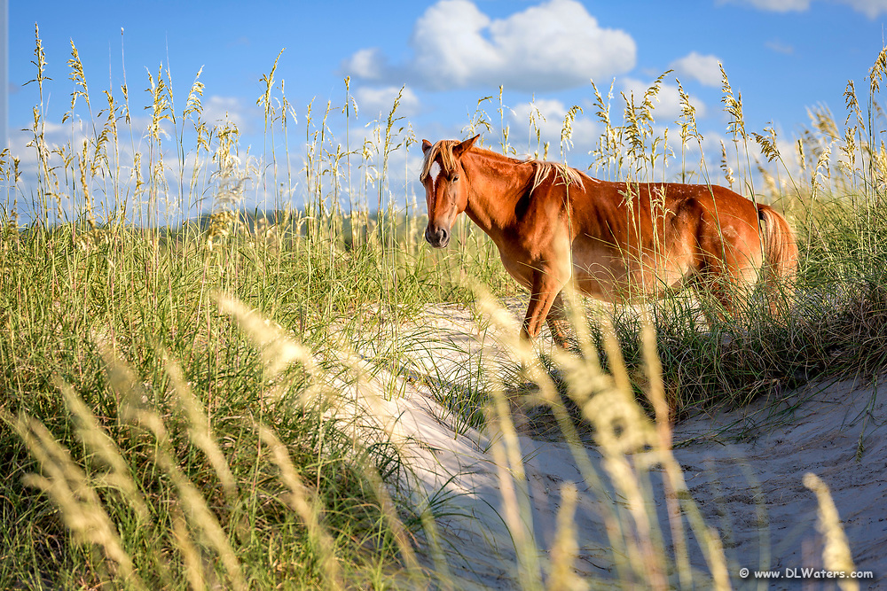 Wild horse in the dunes of Crova on the Outer Banks, NC.
