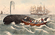 Harpooning a whale.  The mother ship on which whale carcasses were processed is in the background. Harpooning a whale by hand from such a small boat was a hazardous operation.  Mid-19th century hand-coloured engraving.