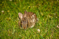 Rabbit with a red-eye in the grass and clover. Late-spring backyard nature in New Jersey. Image taken with a Nikon D2xs camera and 70-200 mm f/2.8 lens + 1.4 TC-E II teleconverter and SB-800 flash (ISO 100, 280 mm, f/4, 1/60 sec)