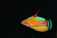 A male yellow-fin flasher wrasse (Paracheilinus flavianalis) fish displaying for females. (see image MM7148_0020 for non-displaying pattern.)