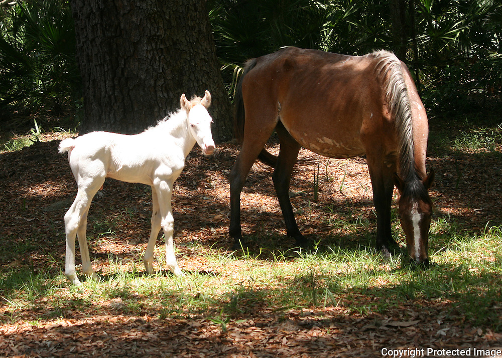 A wild, white foal stands next to it's mother on Cumberland Island.