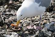 A Herring Gull Larus argentatus) is eating a clam at low tide along the Hood Canal of Puget Sound, WA USA Herring Gull Larus argentatus) is eating a clam at low tide along the Hood Canal of Puget Sound, WA USA
