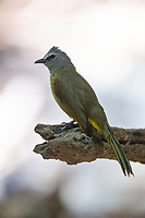 The flavescent bulbul (Pycnonotus flavescens) is a species of songbird in the bulbul family of passerine birds. Its name comes from flavescent, a yellowish colour.