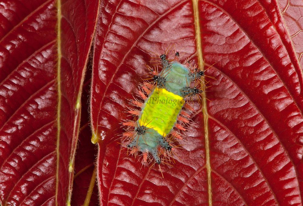 Saddleback Moth Caterpillar (Limacodidae)<br /> Yasuni National Park, Amazon Rainforest<br /> ECUADOR. South America