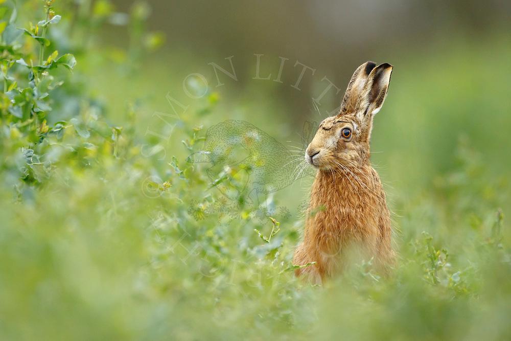 European Hare (Lepus europaeus) adult, South Norfolk, UK.