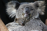 "TARONGA CELEBRATES SEASON'S FIRST KOALA JOEY<br />  <br /> Taronga Zoo is celebrating the arrival of its first koala joey for this year's breeding season, with a tiny face starting to emerge from its mother's pouch.<br />  <br /> The female joey has been spotted mouthing its first eucalyptus leaves and slowly exploring the world outside the pouch to the delight of keepers and visitors.<br />  <br /> ""She's still quite shy, but we're beginning to see her little face more and more,"" said Koala Keeper, Laura Jones.<br />  <br /> Part of Taronga's koala breeding program, the yet-to-be-named joey is the third for experienced mother, Wanda, and the first born at the Zoo this breeding season.<br />  <br /> ""Wanda is a very relaxed and attentive mum. She keeps her little one nice and close at all times and I've never seen her complain when the joey is scratching around with its claws inside her pouch,"" said Laura.<br />  <br /> At six months old, the joey will continue to gain weight and the fluffy fur for which koalas are known. She will spend at least another four months with her mother before venturing out on her own.<br />  <br /> Tour groups have begun meeting Wanda and her joey at Taronga's Koala Encounter, where they learn more about one of Australia's most iconic species and how they are under threat from urban development and forestry breaking up their natural habitat.<br /> ©Paul Fahy/Exclusivepix Media"